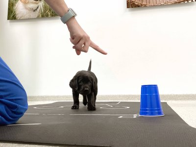 A young puppy responds to a human pointing to a treat during an experiment conducted by scientists at the University of Arizona.