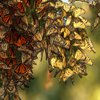 The Best Place to Watch Monarch Butterflies Migrate Might Be This Little California Beach Town icon