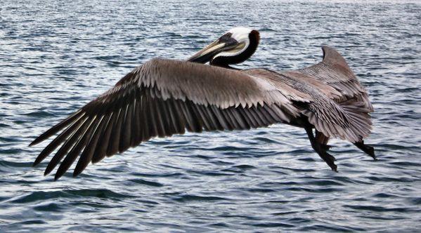 A Brown Pelican thumbnail
