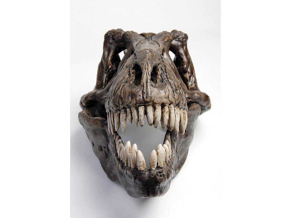 Therapod skull
