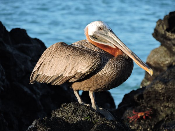 Brown pelican sunning on the rocks thumbnail