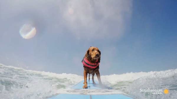 Preview thumbnail for This Surfing Therapy Dog Helps People With PTSD