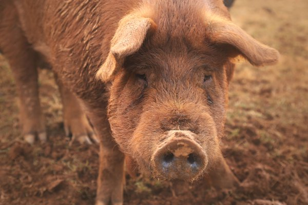 Big Red boar looking at me.  thumbnail