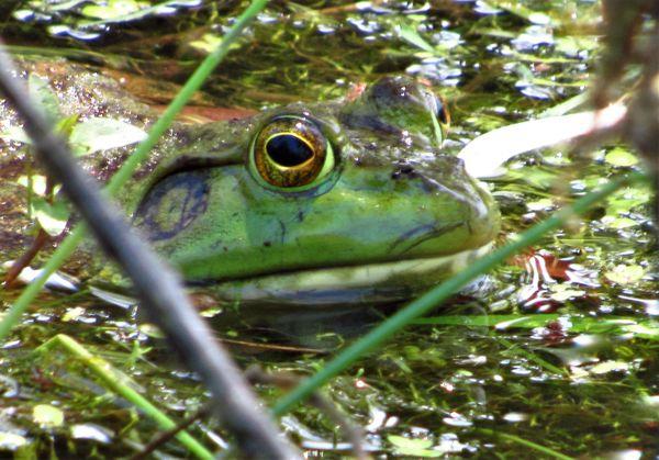 Bullfrog in Pond thumbnail
