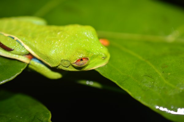 A red-eyed tree frog and its nictitating membrane. thumbnail
