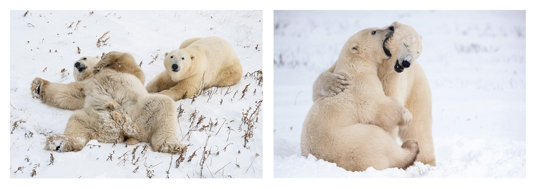 Polar Bears Live on the Edge of the Climate Change Crisis