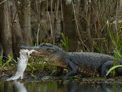 Perhaps the weirdest and most intimidating creature in this spectacularly otherworldly place is the American alligator.
