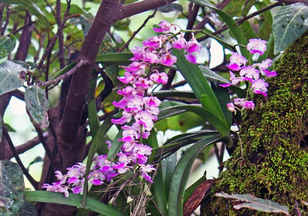 THE FOX BRUSH ORCHID OF WESTERN GHATS-INDIA thumbnail