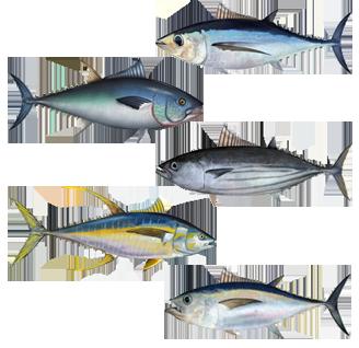 Assorted tuna species