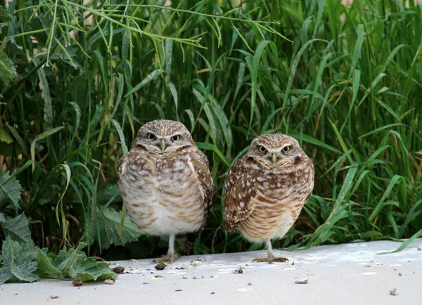 Nesting young Burrowing Owls thumbnail
