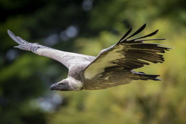 Griffon Vulture soaring on a thermal thumbnail