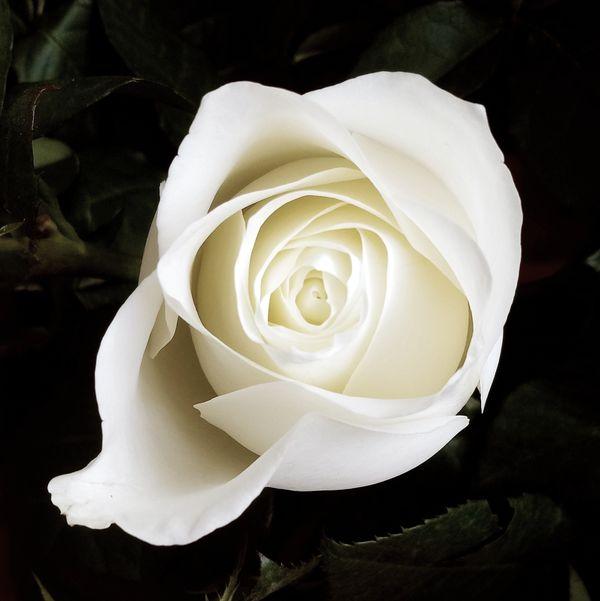 Rose bloom thumbnail