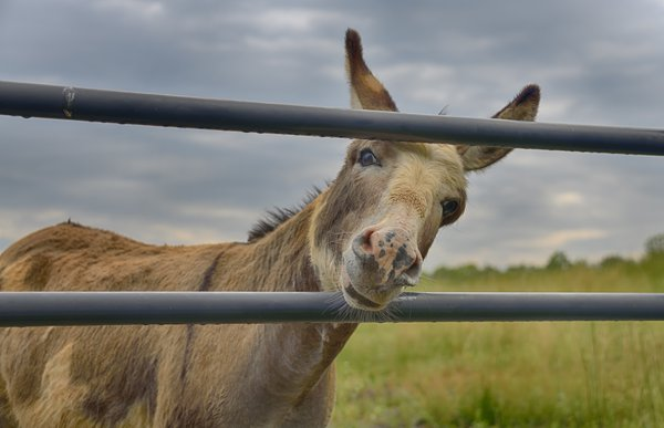 """Sammy"" The Photogenic Donkey posing for her Close Up thumbnail"