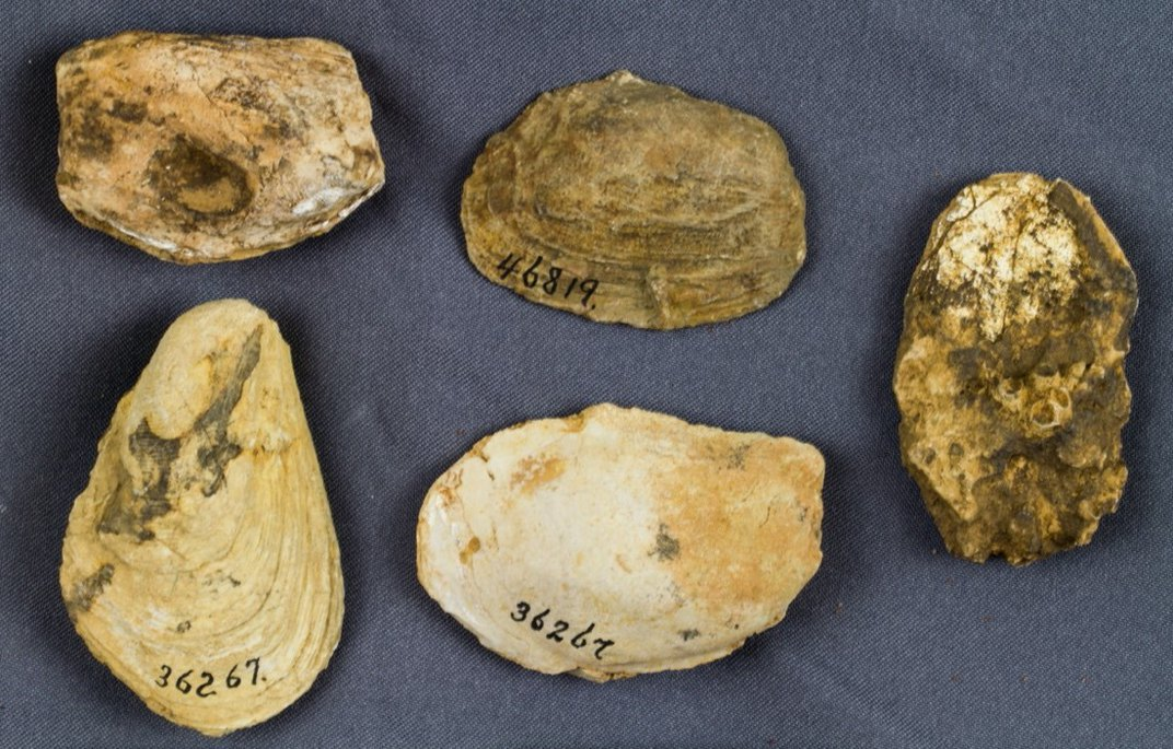 Five tan fossil shells on a gray background.