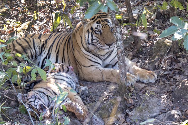 Infanticide and Cannibalism in Tigers thumbnail