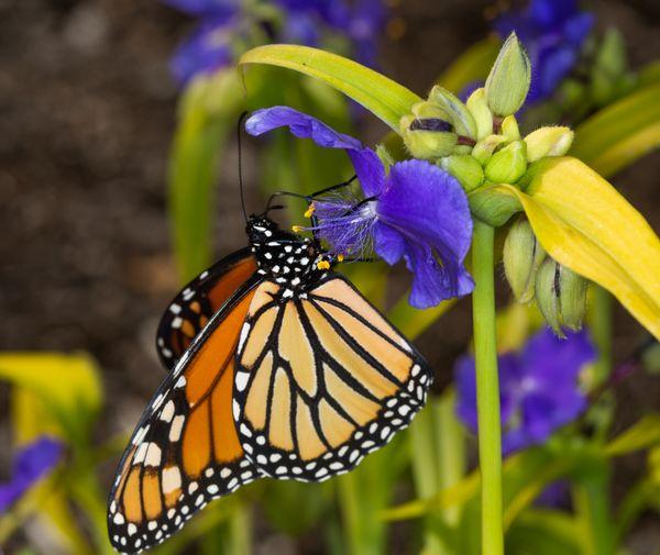 Monarch butterfly, feeding on spiderwort thumbnail
