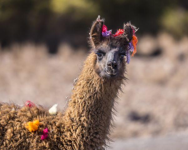 llama thumbnail