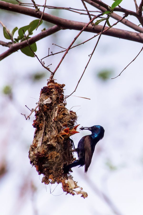 Sunbird father feeding his babies thumbnail