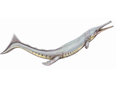 Cricosaurus suevicus is an ancient relative of modern crocodiles that spent its life in the ocean.