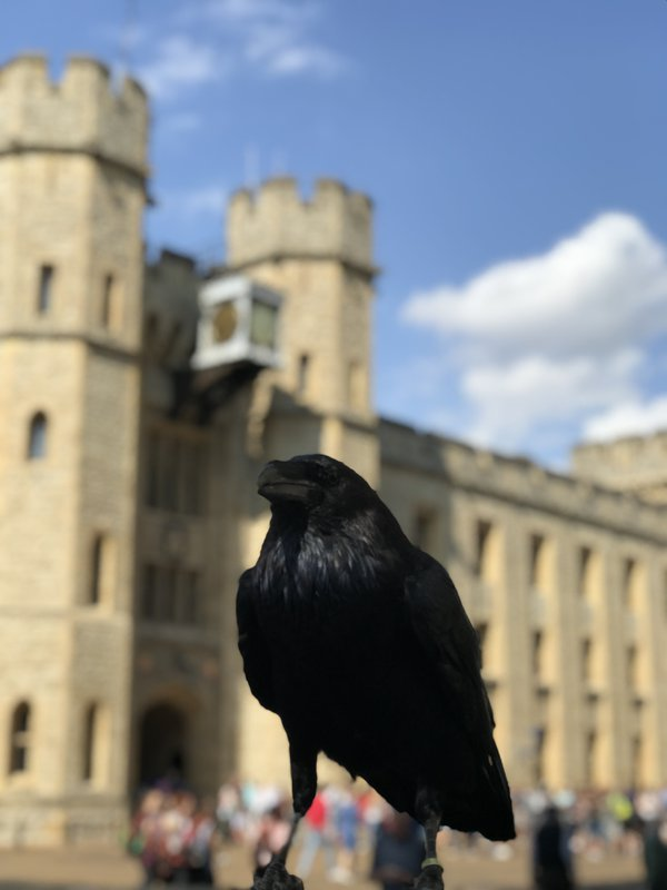 Raven at the Tower of London thumbnail