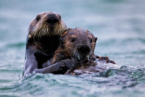 Sea Otter Fun! thumbnail