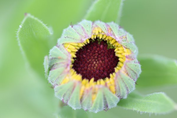 An unopened flower in the garden thumbnail