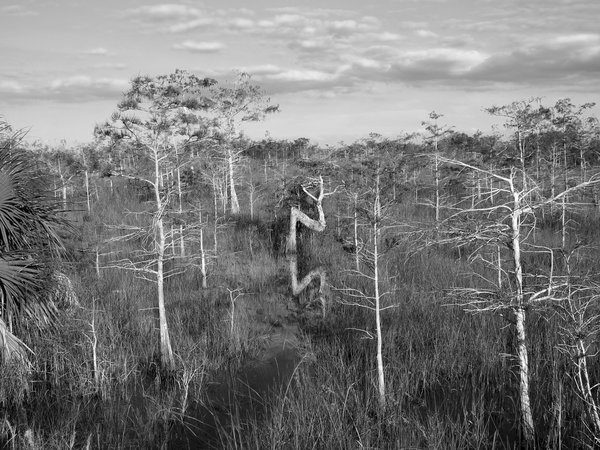 A Resilient Cypress Tree in Everglades National Park thumbnail