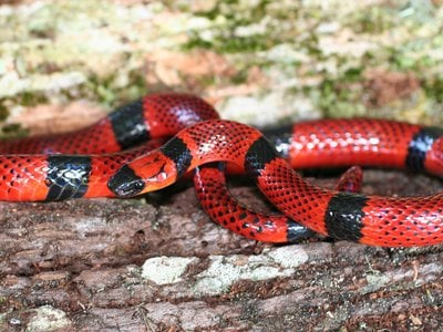This is a close mimic of the coral snake, but the real version has a singular venom.