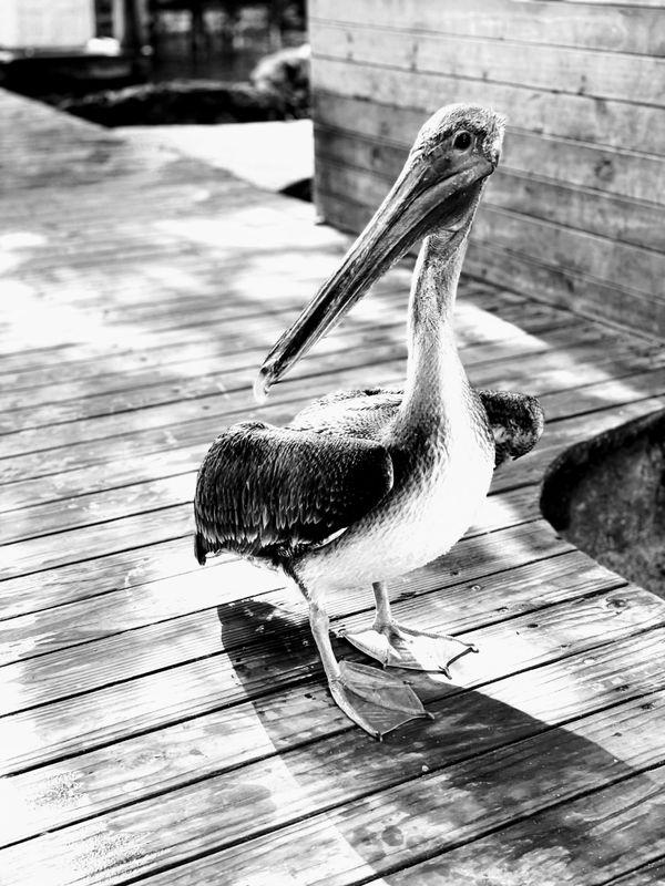 Caribbean brown pelican thumbnail