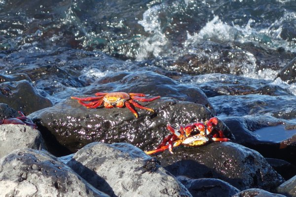 Galapagos Sally Light Foot Crab thumbnail