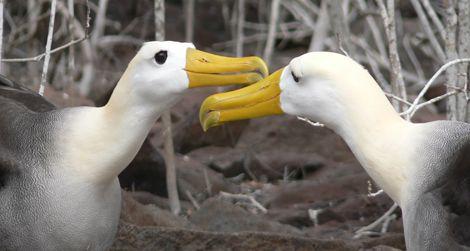 Two waved albatrosses
