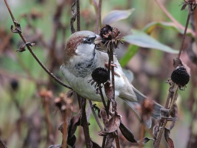 Researchers found that the House Sparrow Passer domesticus had the biggest population out of the total bird species surveys at 1.6 billion individuals.