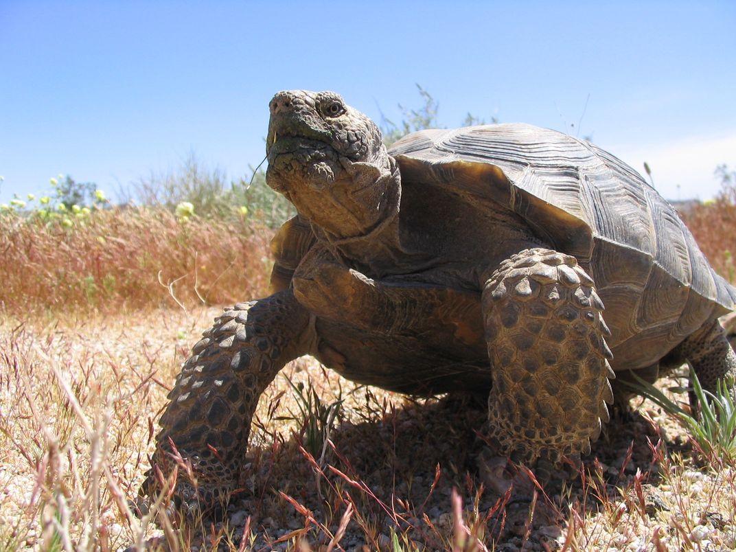 Safer Digs for Tortoises Put a Damper on Their Love Lives