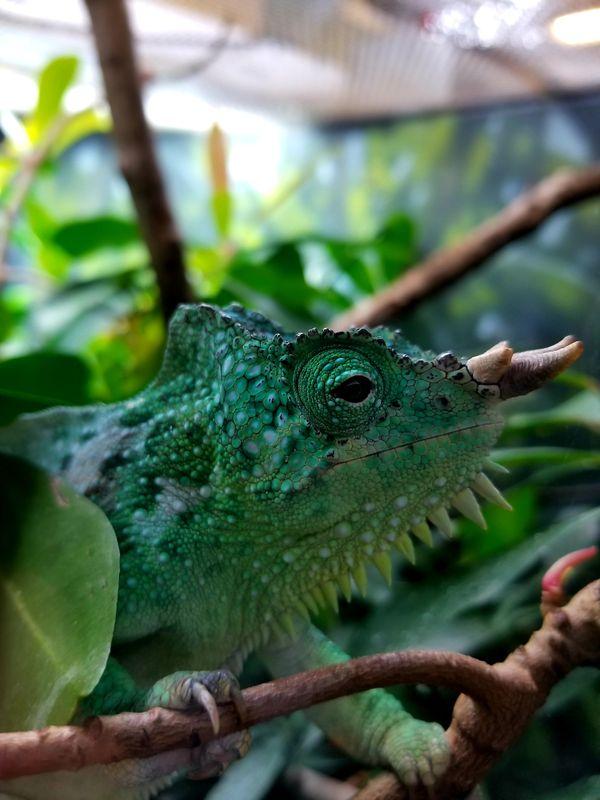 4-Horned Chameleon thumbnail