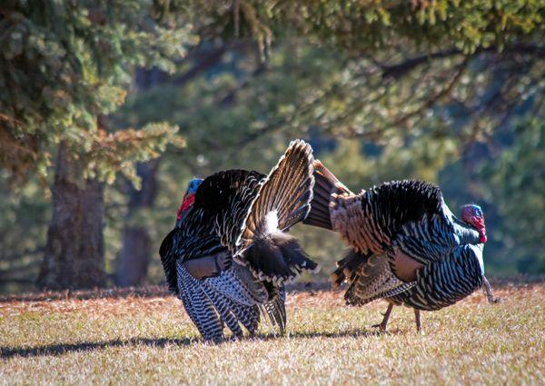 Wild turkey gobblers. thumbnail