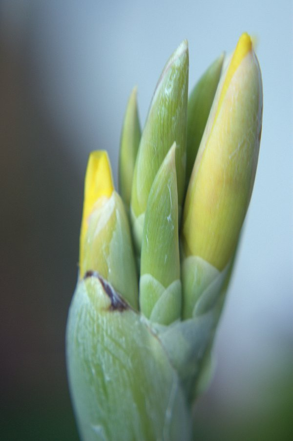 Canna lily bud thumbnail