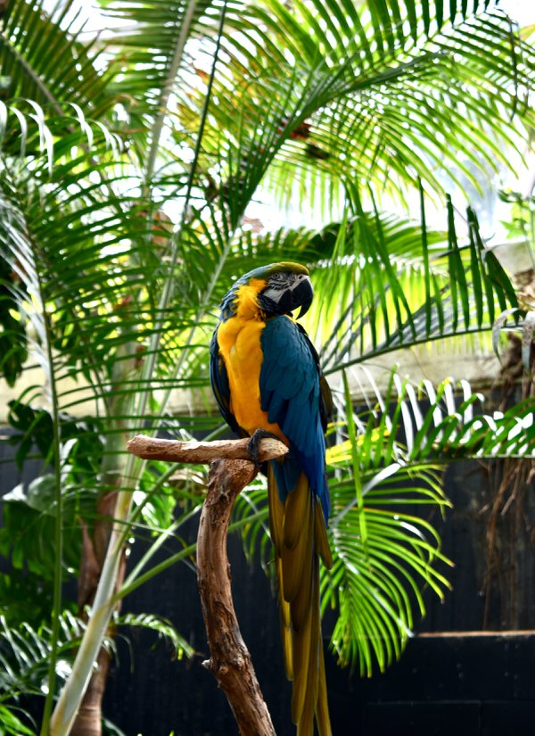 Blue and Gold Macaw thumbnail