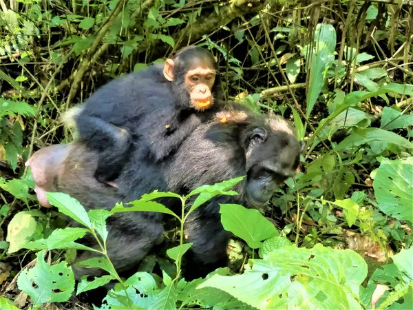 Mamma Gorilla With a Baby, Mabira Forest, Uganda thumbnail