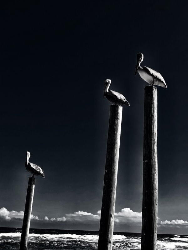 Pelicans At The Beach thumbnail