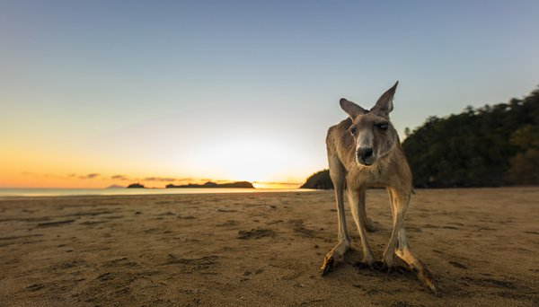 A blind kangaroo stares down at the camera. thumbnail