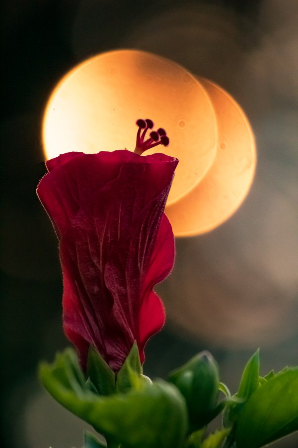 A red hibiscus against a setting sun. thumbnail