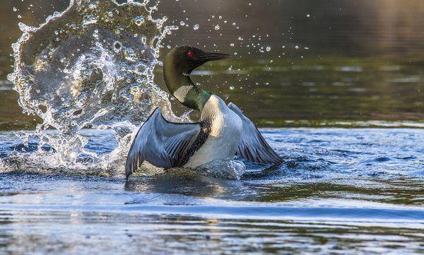 Loon Water Dancing thumbnail