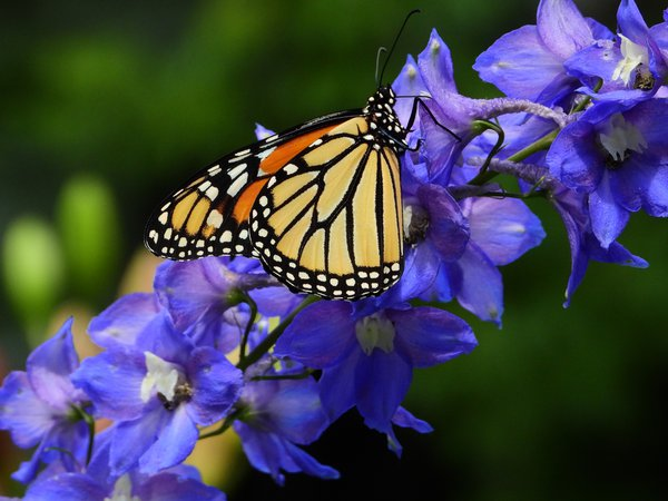 Monarch Butterfly with Delphiniums thumbnail