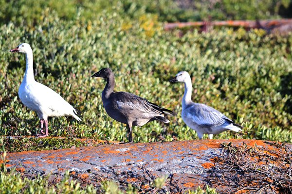Snow Geese with Nikon D3100 thumbnail