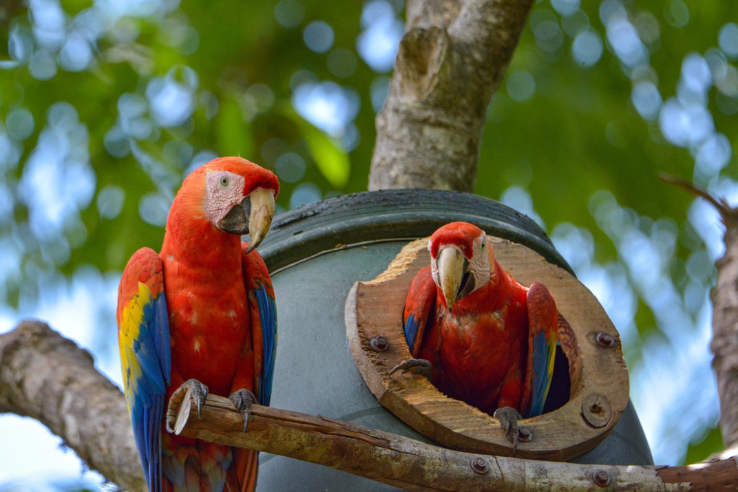 How the Stunning Scarlet Macaw Came Back From the Brink