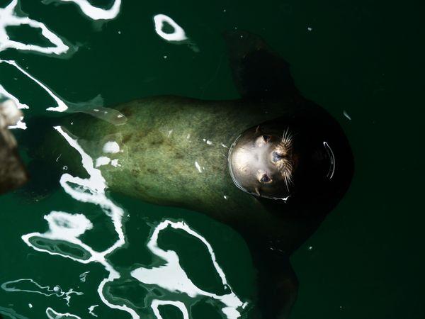 Sea lion under the wharf thumbnail