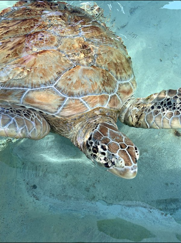 a turtle in Jamaica thumbnail