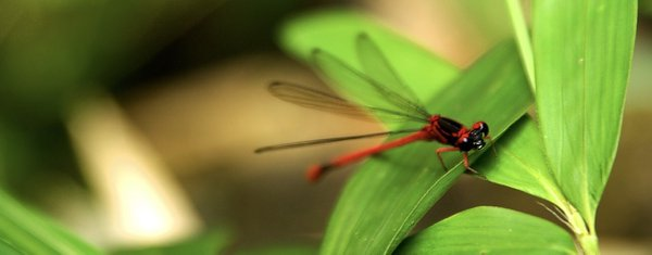 Red Dragonfly thumbnail