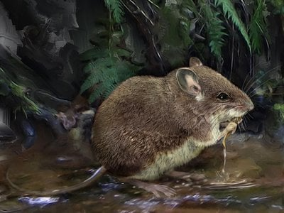 This illustration shows one of the newly described species of stilt mouse, Colomys lumumbai, wading at the edge of a stream.