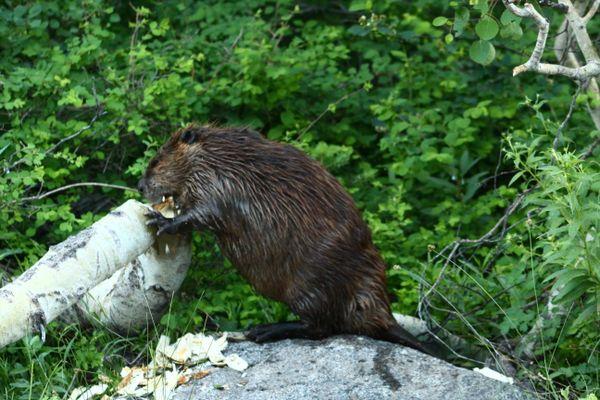 Beaver cutting down a tree thumbnail